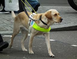 Guide dog walking on street